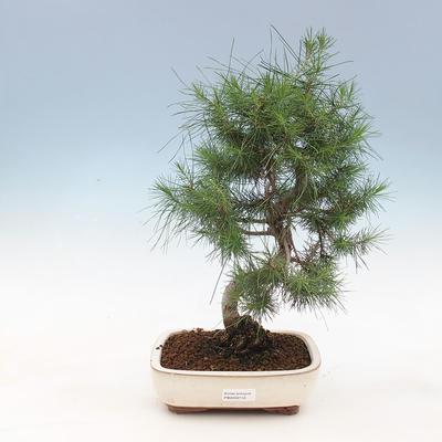 Indoor bonsai-Pinus halepensis-Aleppo pine