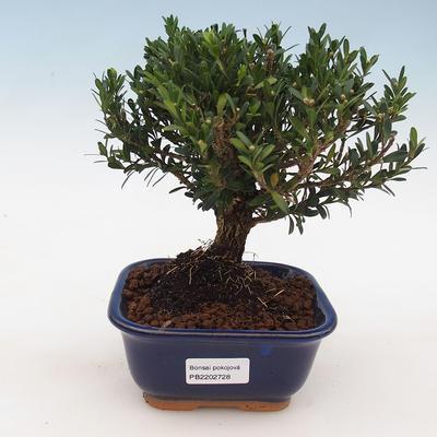 Room Bonsai - Buxus harlandii - Cork boxwood - 1