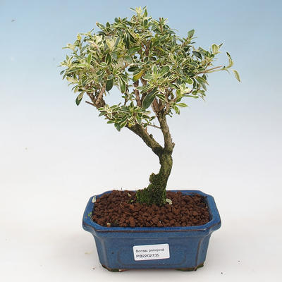 Room bonsai - Serissa foetida Variegata - Strom thousands of stars