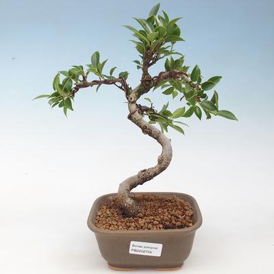 Indoor bonsai - Ficus retusa - small-leaved ficus - 1
