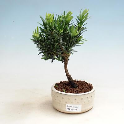 Indoor bonsai - Podocarpus - Stone thous