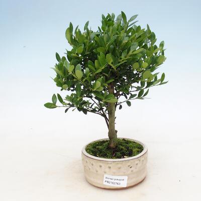 Indoor bonsai - Ilex crenata - Holly