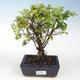 Indoor bonsai - Sagerécie thea - Sagerécie thea - 1/4