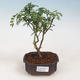 Indoor bonsai - Zantoxylum piperitum - peppercorn - 1/5