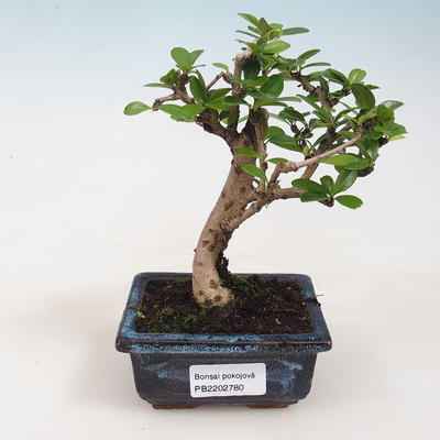 Indoor bonsai - Carmona macrophylla - Tea fuki 412-PB2191338 - 1