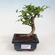 Indoor bonsai - Carmona macrophylla - Tea fuki 412-PB2191338 - 1/5