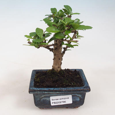 Indoor bonsai - Carmona macrophylla - Tea fuki 412-PB2191338 - 1