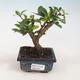 Indoor bonsai - Carmona macrophylla - Tea fuki 412-PB2191338 - 1/5