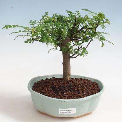 Indoor bonsai - Zantoxylum piperitum - Pepper tree PB220372 - 1