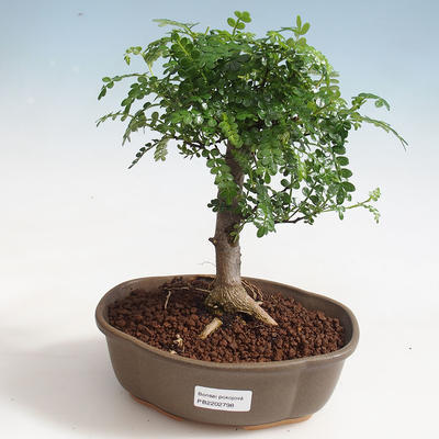 Indoor bonsai - Zantoxylum piperitum - Pepper tree PB220372 - 1