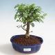 Indoor bonsai - Zantoxylum piperitum - Pepper tree PB220372 - 1/4