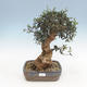 Indoor bonsai - Olea europaea sylvestris - European small-leaved olive oil - 1/3