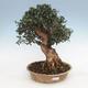 Indoor bonsai - Olea europaea sylvestris - European small-leaved olive oil - 1/4