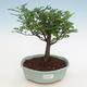 Indoor bonsai - Zantoxylum piperitum - Peppercorn - 1/4