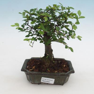 Indoor bonsai-Ulmus Parvifolia-Small-leaved elm