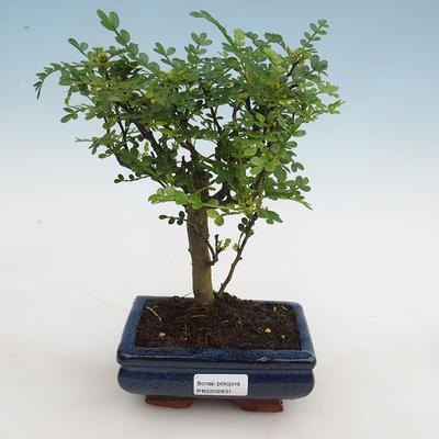 Indoor bonsai - Zantoxylum piperitum - peppercorn - 1