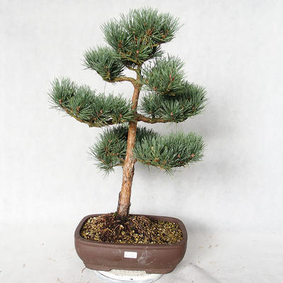 Outdoor bonsai - Pinus sylvestris Watereri - Scots pine VB2019-26848 - 1