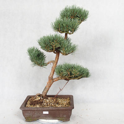Outdoor bonsai - Pinus sylvestris Watereri - Scots pine VB2019-26852 - 1