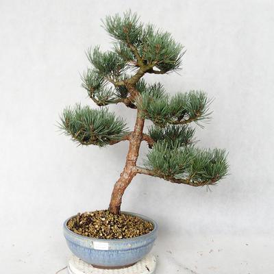 Outdoor bonsai - Pinus sylvestris Watereri - Scots pine VB2019-26859 - 1