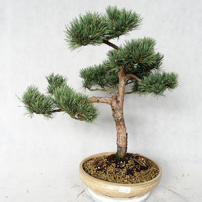 Outdoor bonsai - Pinus sylvestris Watereri - Scots pine VB2019-26868 - 1
