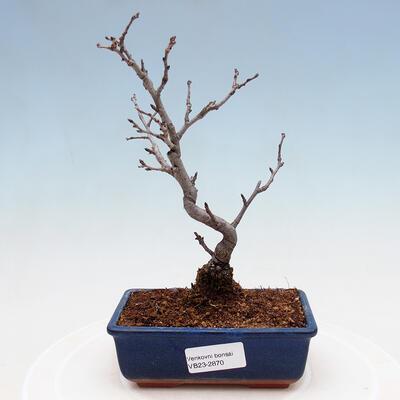 Outdoor bonsai - Pinus sylvestris Watereri - Scots pine VB2019-26870 - 1