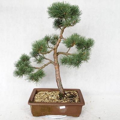 Outdoor bonsai - Pinus sylvestris Watereri - Scots pine VB2019-26878 - 1