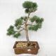 Outdoor bonsai - Pinus sylvestris Watereri - Scots pine VB2019-26878 - 1/4