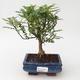 Indoor bonsai - Zantoxylum piperitum - Peppermint - 1/4