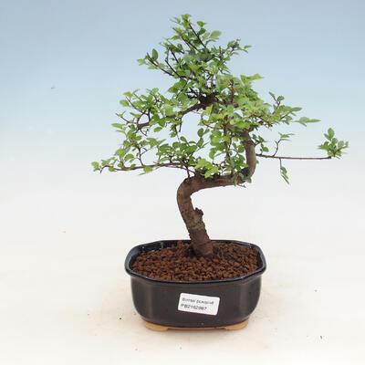 Indoor bonsai - Ulmus parvifolia - Small leaf elm - 1