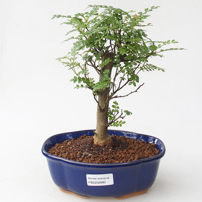 Indoor bonsai - Zantoxylum piperitum - Peppercorn - 1