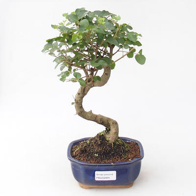 Indoor bonsai -Ligustrum chinensis - Bird's beak
