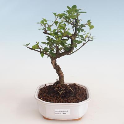 Indoor bonsai - Sagerécie thea - Sagerécie thea 412-PB2191300 - 1