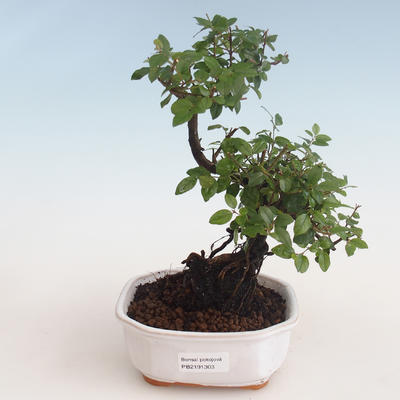 Indoor bonsai - Sagerécie thea - Sagerécie thea 412-PB2191303 - 1