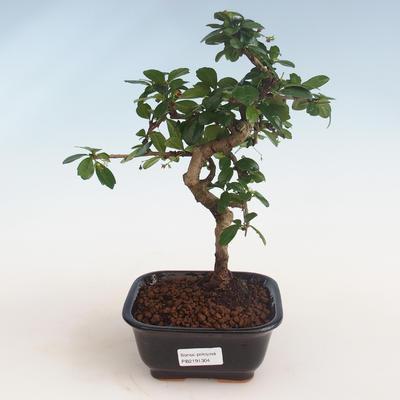 Indoor bonsai - Carmona macrophylla - Tea fuki PB2191304 - 1