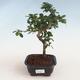 Indoor bonsai - Carmona macrophylla - Tea fuki PB2191304 - 1/5
