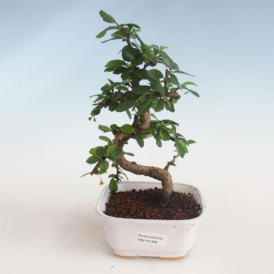 Indoor bonsai - Carmona macrophylla - Tea fuki PB2191306 - 1