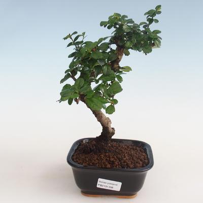 Indoor bonsai - Carmona macrophylla - Tea fuki PB2191308 - 1