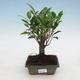 Indoor bonsai - Ficus retusa - small-leaved ficus - 1/2