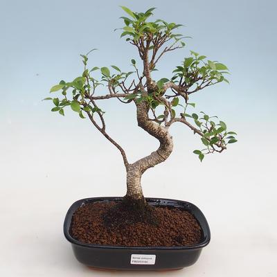 Indoor bonsai - Ficus kimmen - small-leaved ficus