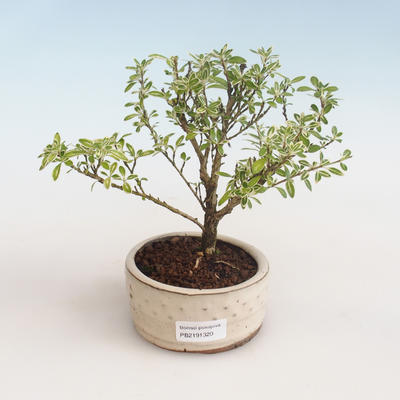 Indoor bonsai - Serissa foetida Variegata - Tree of a Thousand Stars PB2191320 - 1