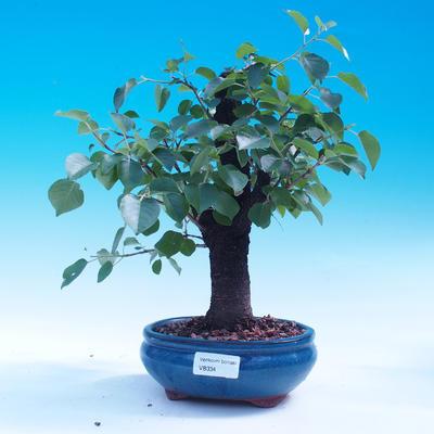 Outdoor bonsai - Prunus mahaleb - 1