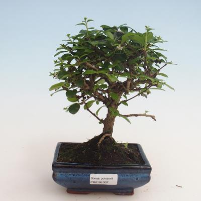 Indoor bonsai - Carmona macrophylla - Tea fuki 412-PB2191337 - 1