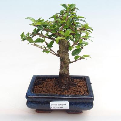 Indoor bonsai - Carmona macrophylla - Fuki tea - 1