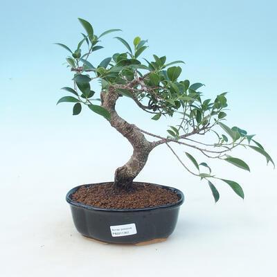 Indoor bonsai - Ficus retusa - small ficus - 1