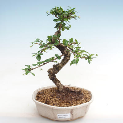 Indoor bonsai - Carmona macrophylla - Fuki tea PB2201367 - 1