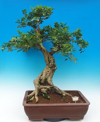 Room bonsai - Muraya paniculata - 1