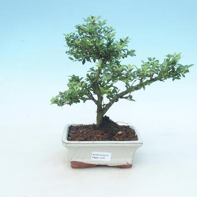 Indoor bonsai - Ilex crenata - Holly - 1