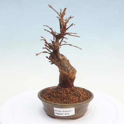 Outdoor bonsai - Buergerianum Maple - Burger Maple - 1