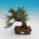 Pinus thunbergii - Pine thunbergova - 1/4