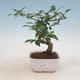 Indoor bonsai - Ficus retusa - small-leaved ficus - 1/2